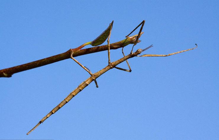 竹节虫是害虫还是益虫 竹节虫是不是有毒而且可以孤雌生殖呢