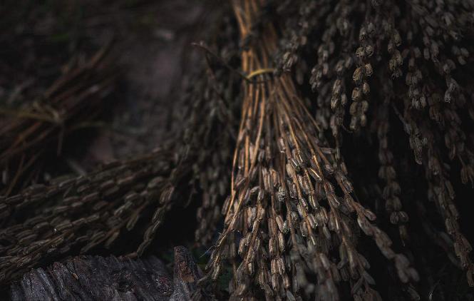 芝麻种植的环境要求 芝麻高产都有哪些种植注意事项