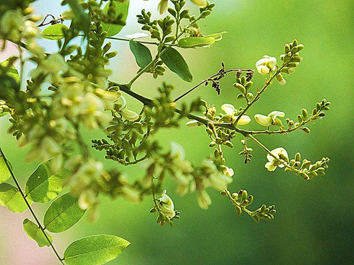 槐树的繁殖方法 国槐的种子繁育