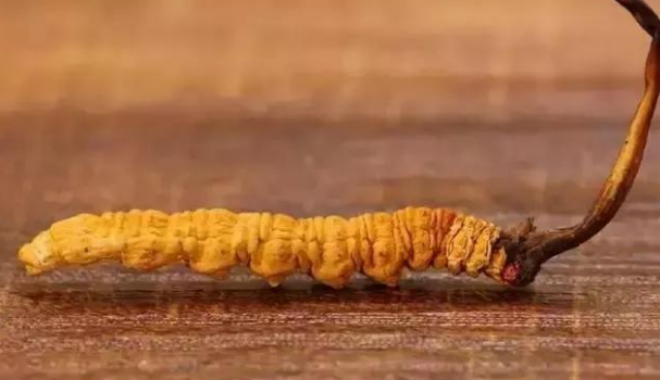 教你正确认识冬虫夏草功效和作用