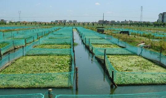 如何提高泥鳅养殖的成活率 泥鳅的病害及防治技术