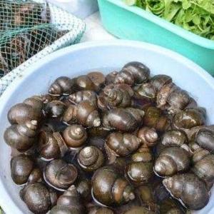 孕产妇能不能吃螺蛳 孕产妇吃螺蛳有哪些禁忌
