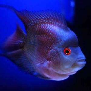 罗汉鱼的饲养条件和罗汉鱼的疾病防治方法