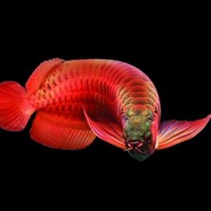 龙鱼的饲养方法 龙鱼饲养需做好水温水质的把控和饵料投喂