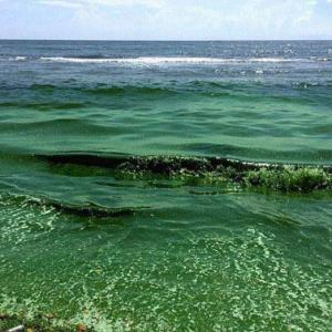 蓝蓝绿藻的繁殖方法 蓝绿藻产生的原因和处理方法