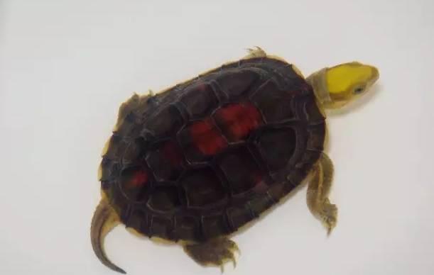 金头闭壳龟的饲养管理和注意事项