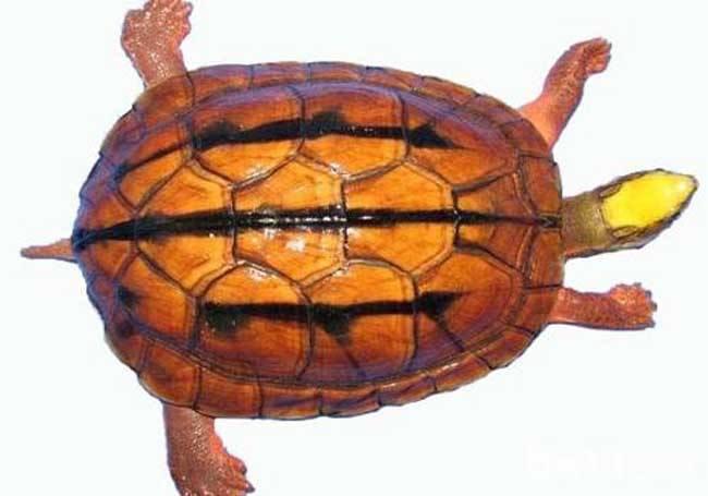 金钱龟的名称由来 鉴别金钱龟的的四看方法