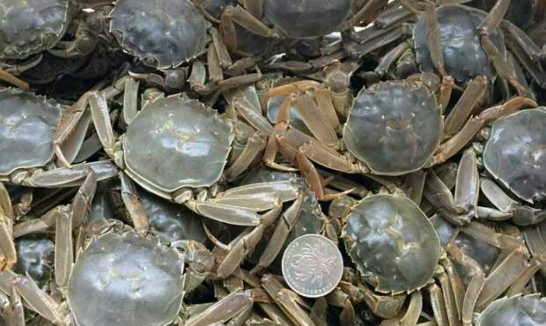 河蟹的池塘养殖技术
