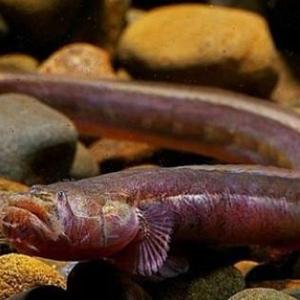 红狼牙鰕虎鱼有毒吗 红狼牙鰕虎鱼能吃吗