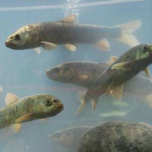 湟鱼学名叫做青海湖裸鲤是青海湖特产 大家一起来了解下吧