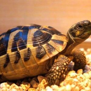 赫曼陆龟的饲养环境要求和方法介绍