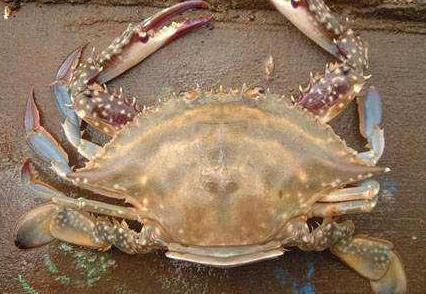 怎么分辨是不是三疣梭子蟹