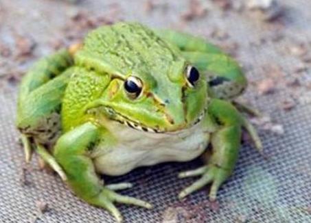 青蛙养殖的前景怎么样