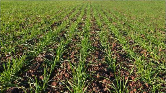 农民种小麦,想高产丰收,先看看这招你会不?