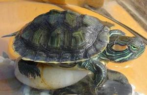 饲养巴西龟都有哪些小技巧
