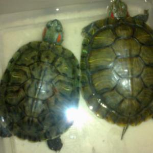 饲养巴西龟都吃什么食物呢?