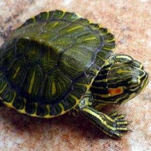 养巴西龟应该在什么环境 放多少水?