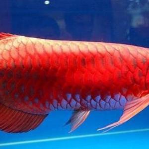 颜色独特的红龙鱼介绍
