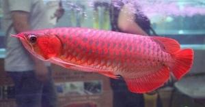 在家庭饲养红龙鱼需要注意什么 又如何挑选呢?