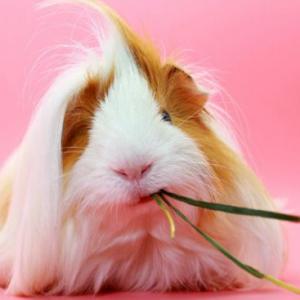 怎么科学的养荷兰猪呢?