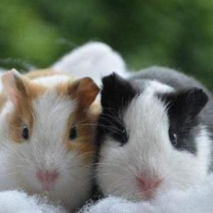 如何挑选一只健康的荷兰猪呢?