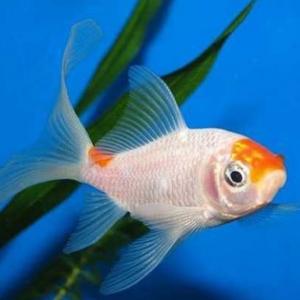 草金鱼要怎么养 一定要注意它四季饲养的要点