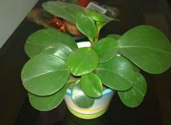 种植豆瓣绿需要掌握哪些要点?