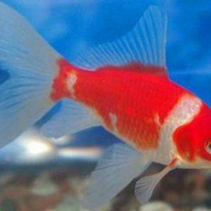 草金鱼的饲养方法和疾病防治