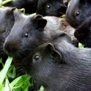 黑豚生病的原因和养殖的注意事项