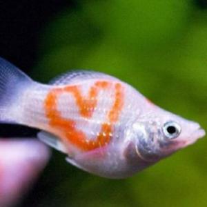 孔雀鱼的养殖都要注意哪些?