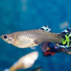 孔雀鱼的养殖方法和注意事项