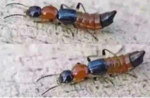 """隐翅虫是什么 隐翅虫""""咬人""""会致死?"""