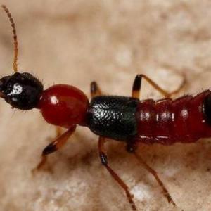 如何预防隐翅虫 毒液粘肌肤上怎么处理?