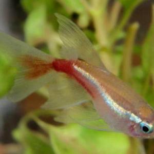 养红绿灯鱼的时候 应该注意些什么呢