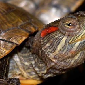 巴西龟寿命多长 通常能长到多大?