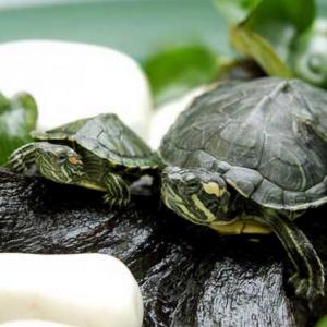 在什么环境下养巴西龟好 有什么注意事项?