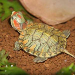 如何正确饲养巴西龟 巴西龟怎么冬眠?