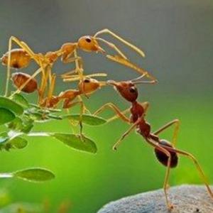 黑蚂蚁的功效都有哪些 有什么吃法?