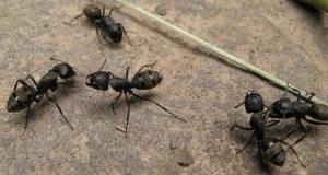 黑蚂蚁的药用价值都有哪些?