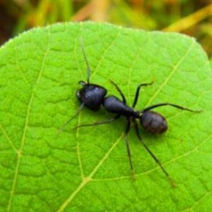 黑蚂蚁有哪些强大的作用 酿酒的做法有哪些?