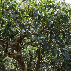 储存和收藏升值的古树茶都有哪些条件呢?