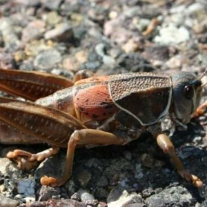 蚂蚱吃什么 它有哪些药用价值?