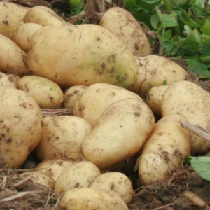 马铃薯是土豆吗 它有哪些作用?