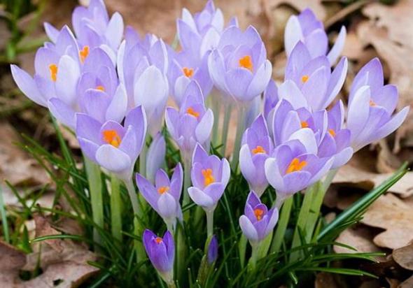 番红花的生长习性和繁殖方法