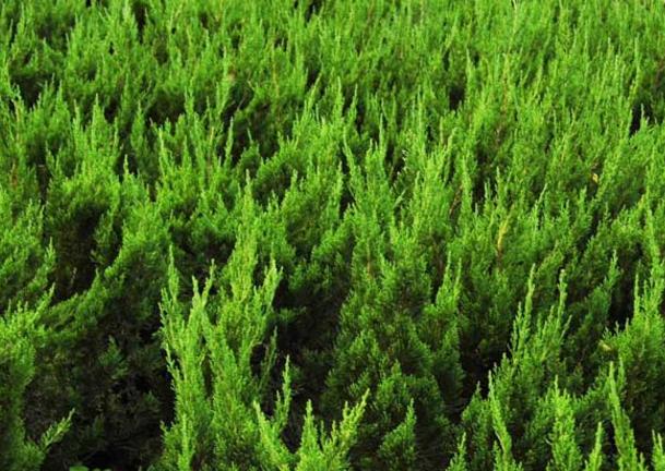 柏树的种植技术和病虫防治