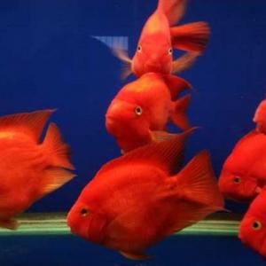 鹦鹉鱼如何养殖 需要注意什么条件