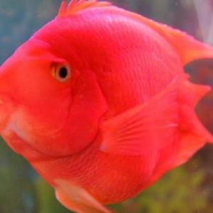 鹦鹉鱼的常见病主要都是因为什么导致的 如何治疗?