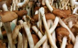 孕妇能吃松茸吗 孕妇吃松茸有哪些好处?