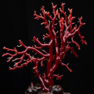 珊瑚是如何形成的 珊瑚的价值有哪些?