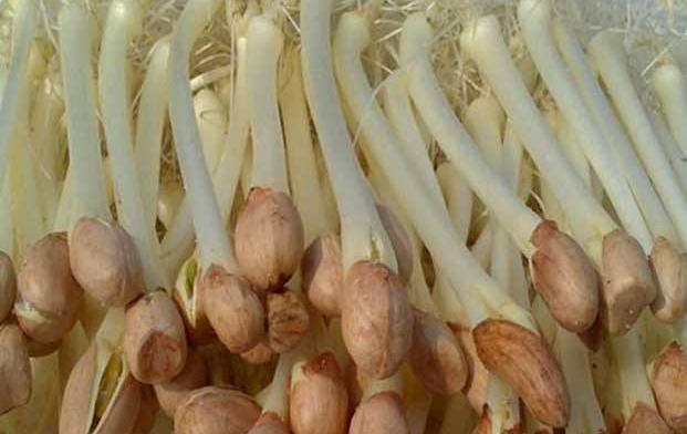 常见蔬菜花生芽的功效有哪些 有什么吃法?